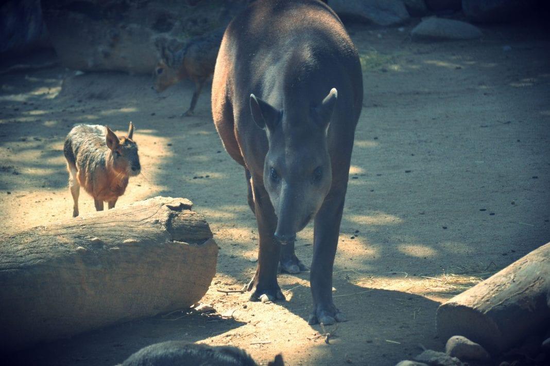 zoo tapir costa rica