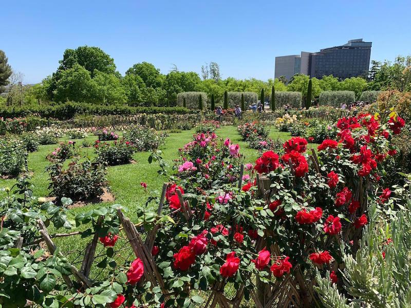 Parque Cervantes. Un mar de rosas.